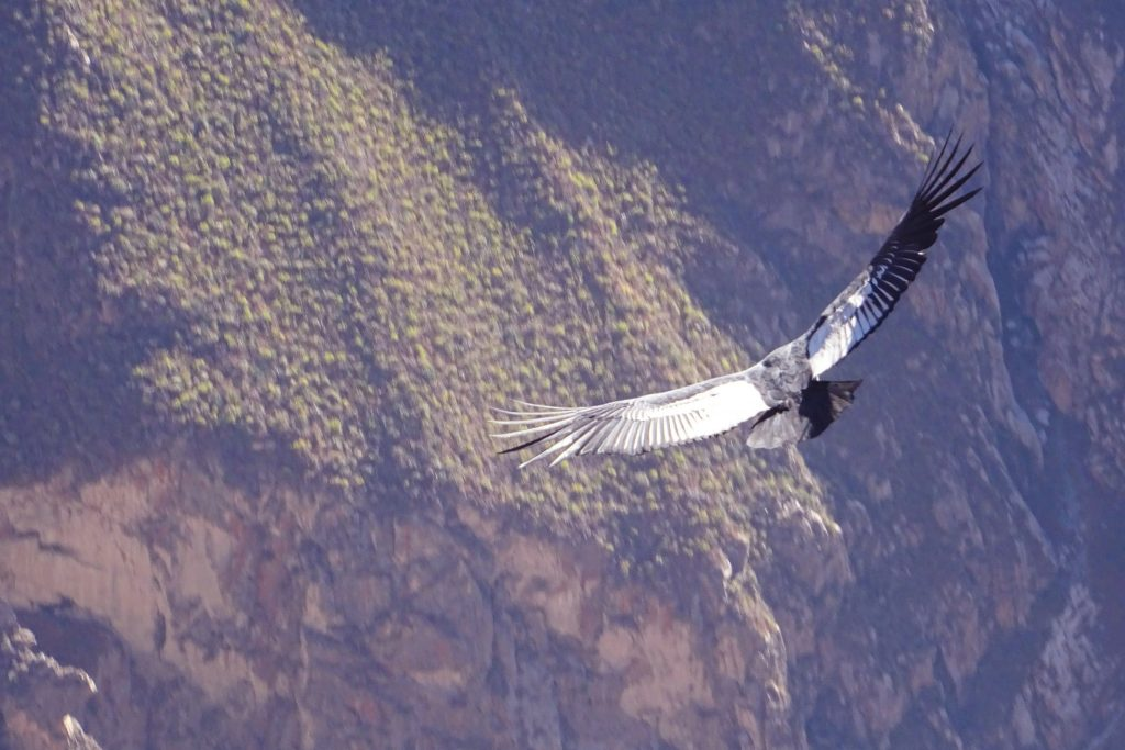 The condor is the world's largest flying bird