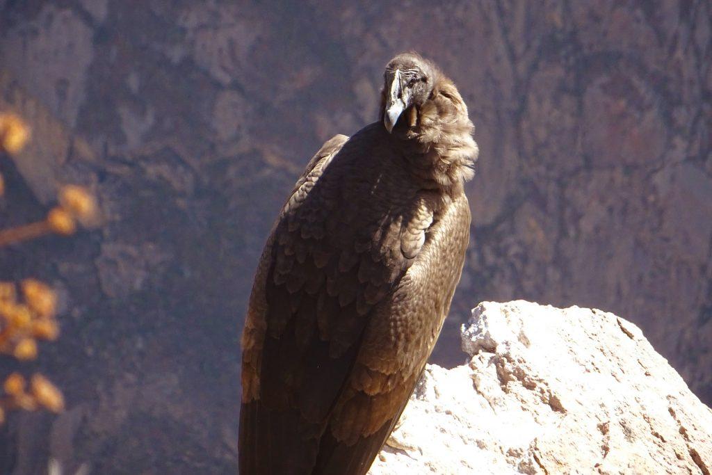 Locking eyes with an Andean condor at Cruz Del Condor