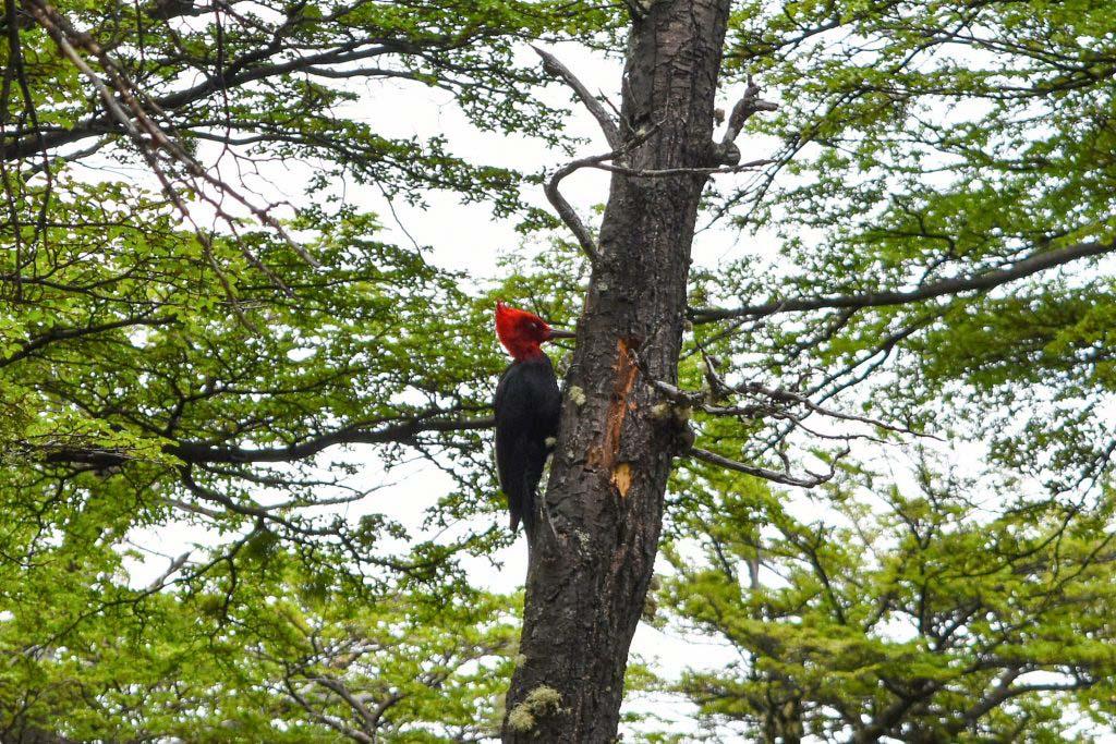 The Magellanic woodpecker is South America's largest woodpecker – we saw it near El Chaltén