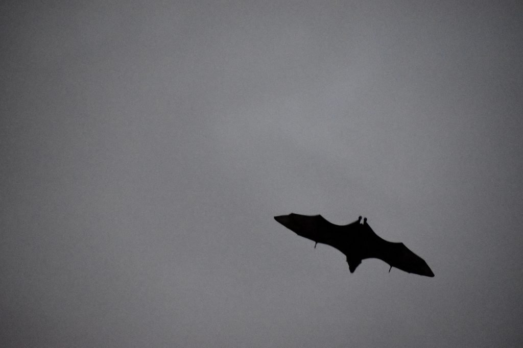 The grey-headed flying fox, Australia's largest bat species, comes out to play at dusk in Sydney