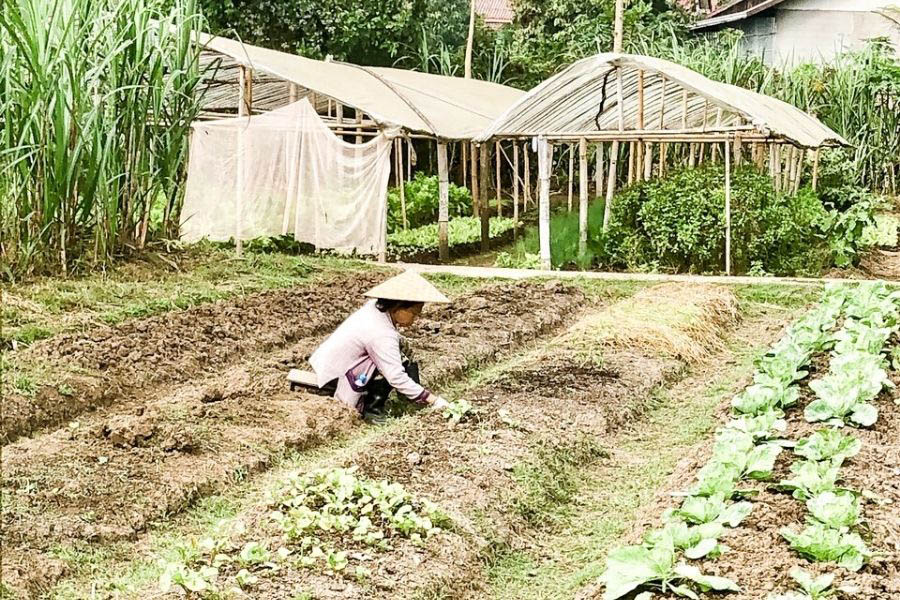 You can learn about the labour-intensive process of rice farming in Luang Prabang at the Living Land Company