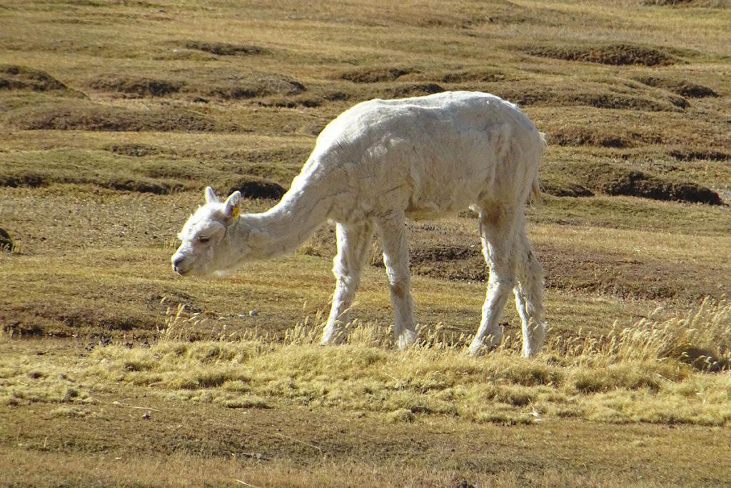 A llama at La Reserva de Llamas y Vicu?as near the Colca Canyon