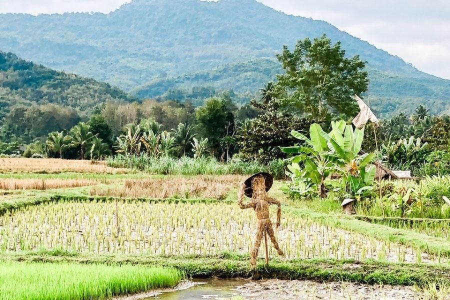 Rice paddies and a Kondauna made of rice stalks to protect the rice